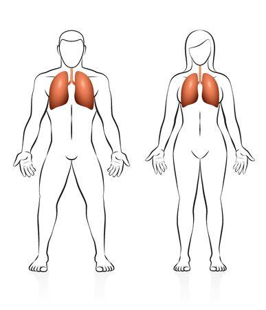 Lungs of human illustration. Illustration