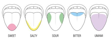 Lengua humana con cinco áreas de sabor: amarga, agria, dulce, salada y percepción umami. División coloreada con zonas de diferentes papilas gustativas. Vector educativo y esquemático sobre fondo blanco.
