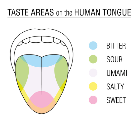 Taste areas of the human tongue - colored division with zones of taste buds for bitter, sour, sweet, salty and umami perception - educational, schematic vector illustration on white background. Ilustração
