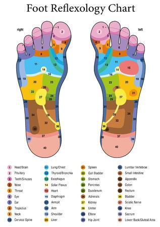 Fußreflexzonenmassage. Alternative Akupressur und Krankengymnastik. Zonenmassagetabelle mit farbigen Bereichen. Nummerierung und Auflistung der Namen der inneren Organe und Körperteile.