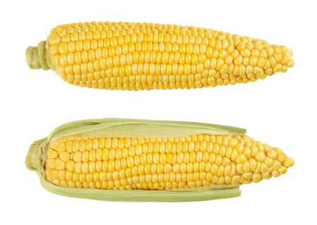 Two husked cobs of sweet corn