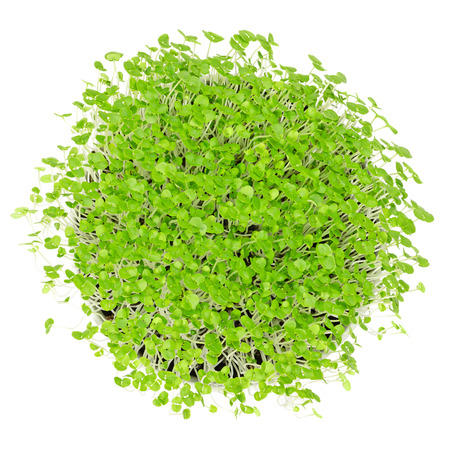 Young basil microgreens in white bowl over white. Sprouts, shoots, young plants and seedlings in potting compost. Leaves of Ocimum basilicum, great basil, Saint-Josephs-wort. Macro food photo.