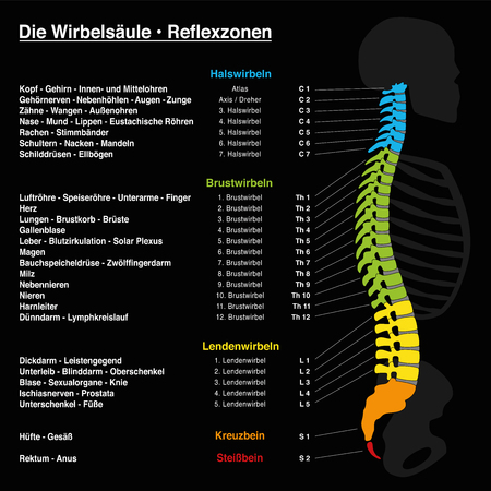 Spine reflexology with description of the corresponding internal organs and body parts, and with names and numbers of the vertebras of the backbone. GERMAN LANGUAGE. Illustration
