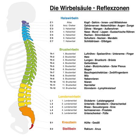 Ruggengraatreflexologie-kaart met nauwkeurige beschrijving van de overeenkomstige interne organen en lichaamsdelen, en met namen en nummers van de wervels. DUITSE TAAL.