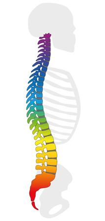 Regenboogkleurige ruggengraat. Kleurrijke wervelkolom en grijs skelet, als symbool voor gezonde wervels. Geïsoleerde vectorillustratie op witte achtergrond.