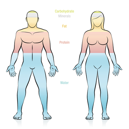 Composition of the main molecules that compose a normal weight woman. Water, fat, protein, minerals and carbohydrate. Illustration of the basic components of the human body.