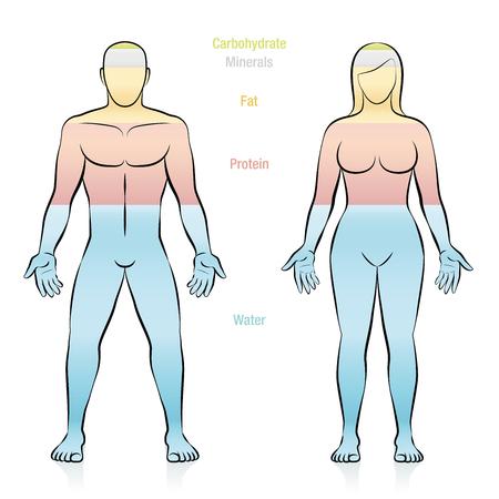 Samenstelling van de belangrijkste moleculen waaruit een vrouw met een normaal gewicht bestaat. Water, vet, proteïne, mineralen en koolhydraten. Illustratie van de basiscomponenten van het menselijk lichaam.