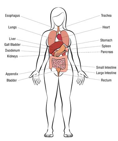 Organi interni, corpo femminile - illustrazione schematica di anatomia umana - vettore isolato su priorità bassa bianca.