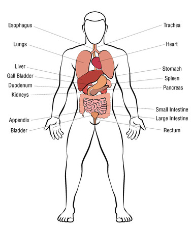 Internal organs, male body - schematic human anatomy illustration - isolated vector on white background.