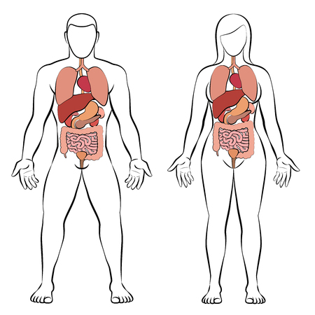 Digestive tract with internal organs, male and female body - schematic human anatomy illustration - isolated vector on white background. Illustration
