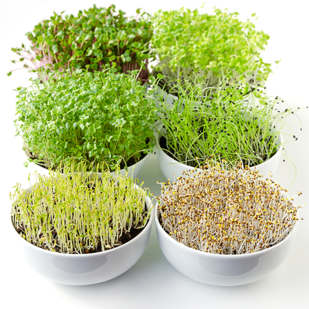 Microgreens sprouting in white bowls, vertical. Shoots of radish, Chinese cabbage, kale, garlic, lentils and alfalfa in potting compost. Sprouts, green seedlings, young plants, cotyledons. Food photo. Фото со стока