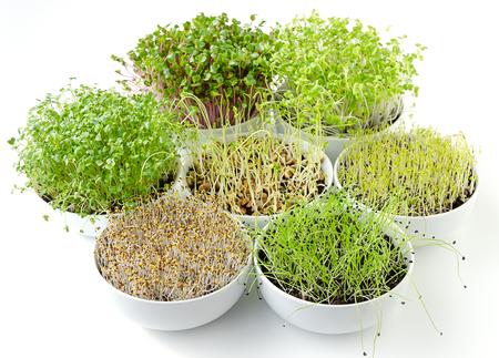 Sprossen in weißen Schalen. Sieben sprießende Microgreens. Triebe von Luzerne, Chinakohl, Knoblauch, Grünkohl, Linsen und Rettich in Blumenerde. Grüne Sämlinge, Jungpflanzen und Keimblätter. Essen Foto. Standard-Bild