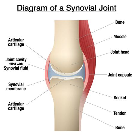 Synovial joint chart. Labeled anatomy infographic with two bones, articular cartilage, joint cavity, synovial fluid, muscle and tendon. Isolated vector illustration on white.