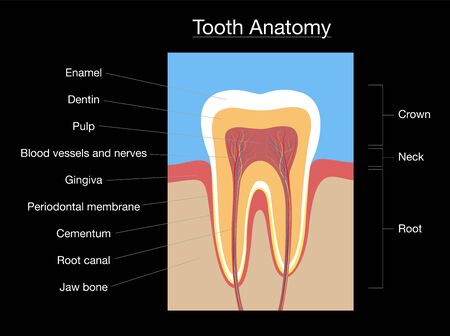 Tooth anatomy, medical labeled cross section chart with enamel, dentin, pulp, gingiva, blood vessels and nerves. Isolated vector illustration on black background.