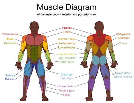 Muscle diagram, most important muscles of an athletic black man, anterior and posterior view, male body. Labeled vector illustration chart on white background. Vektorové ilustrace