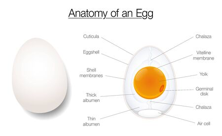 Egg structure. Anatomy of a birds egg, labeled chart with names of the components. Isolated vector diagram illustration on white background. Illustration