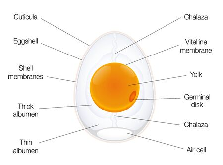 Anatomy of a birds egg. Labeled egg structure chart with names of the components. Isolated vector illustration on white background.