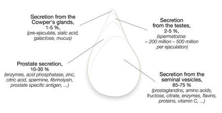 Semen components. Drop of sperm with percentage of secretions from testes, prostate, seminal vesicles and cowpers glands. Isolated vector illustration on white background.