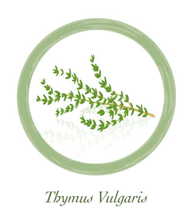 Thyme - Thymus Vulgaris - culinary herb  - isolated vector illustration on white background.