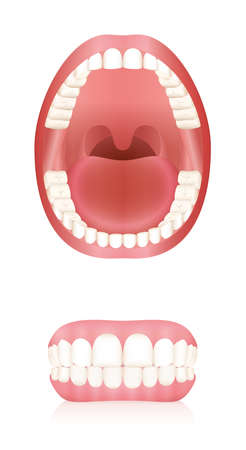 Teeth. Open adult mouth model and dentures or false teeth. Abstract isolated vector illustration on white background. Çizim