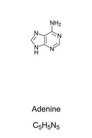 Adenine, A, Ade, chemical formula and skeletal structure. Nucleobase and a purine derivative, one of four in the nucleic acid of DNA and RNA, represented by letters G, C, A and T. Illustration. Vector