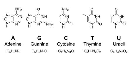 Primary nucleobases, chemical formulas and skeletal structures. Adenine, guanine, cytosine, thymine and uracil, represented by letters A, G, C, T and U. Fundamental units of the genetic code. Vector.