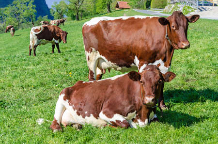 Pinzgauer cows in a field next to a farm. Pinzgauer cattle on green pasture in springtime. A breed of domestic cattle from the Pinzgau region of the federal state of Salzburg in Austria, Europe. Photo