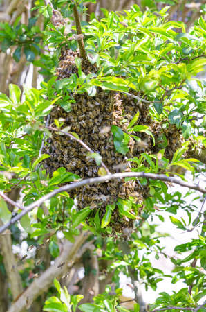 Swarm of bees on a tree branch in spring. Swarming honey bees on a fruit tree branch, after splitting in a distinct honey bee colony. Natural reproduction of a swarm accompanied by a queen bee. Photo.