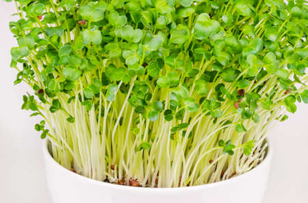 Daikon radish, microgreens in a white bowl. Fresh and ready to eat, sprouted Japanese radish. Green shoots, seedlings, young plants and leaves of true daikon, Raphanus sativus. Close up, food photo.