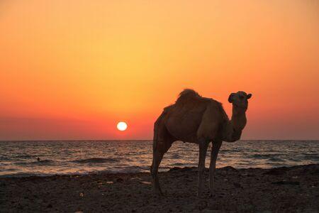 Camel enjoying sunset on beach in Tunisia