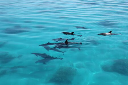 dolphins family playing in Egyptian sea