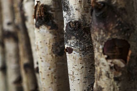 Birch tree trunks used as a natural background with copy space