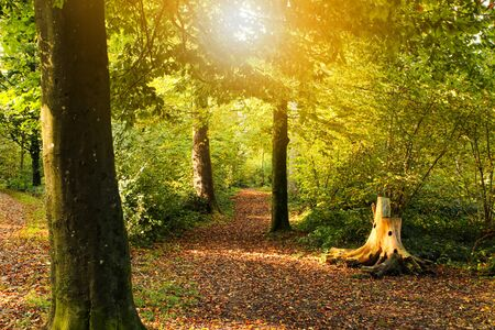 autumn setting in a forrest with sun rays. Green trees and track and sun rays