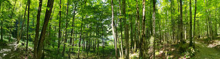 Panorama shot in forrest with lush green trees in Switzerland
