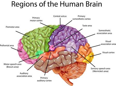 cerebro humano: Regiones del cerebro humano. Ilustración de las regiones en el cerebro humano.
