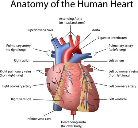 Human Heart Illustration with annotation isolated on white background.