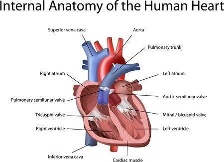 fisiologia: Ilustraci�n del coraz�n humano con la anotaci�n aisladas sobre fondo blanco. Vectores