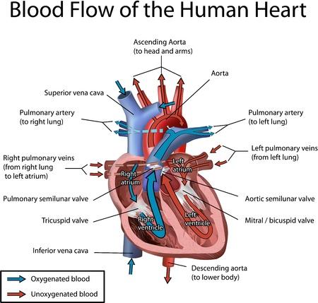 blood flow: Cuore umano flusso sanguigno con annotazione illustrazione isolato su sfondo bianco. Vettoriali