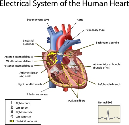 fisiologia: Electrical System of the Heart Illustration isolated on white background.