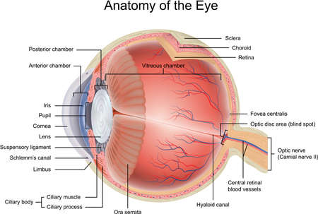 nervios: Anatomía del ojo Vectores