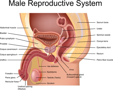 Male Reproductive System cross section view Иллюстрация