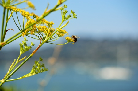 Bee climbing yellow flowers with abstract blue seashore background