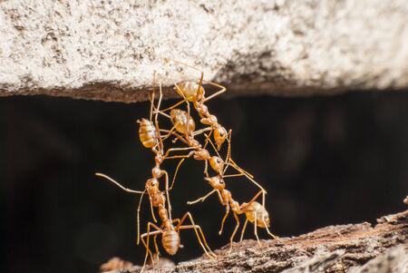 red ant: El cuerpo de la hormiga roja puente para el cuerpo