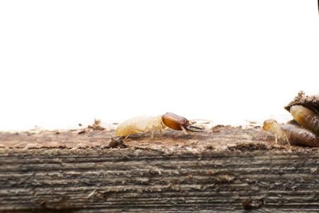 Termite macro on decomposing wood Banco de Imagens