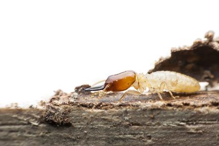 Termite macro on decomposing wood Stock Photo