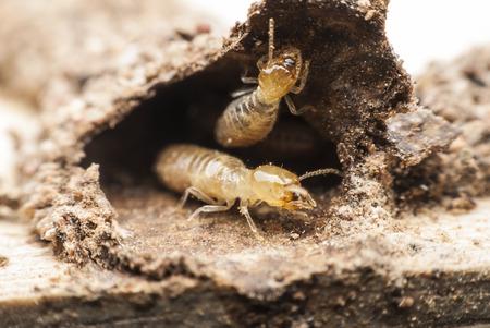 Termite macro on decomposing wood photo