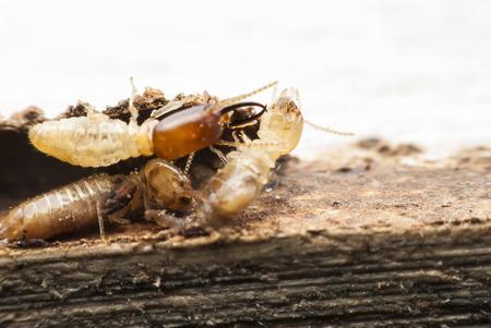 Termite Makro auf Holz zersetzende Standard-Bild - 28372841