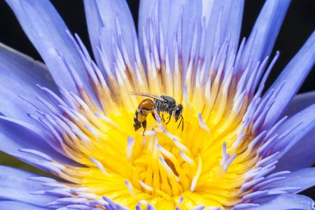 Bee on beautiful lotus flower. photo