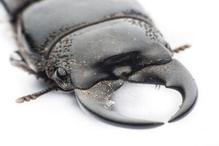 stag beetle  on white background