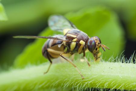 abdomen yellow jacket: macro wasp of the garden Stock Photo